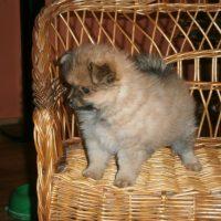 Pomeranian šteniatka na Vianoce