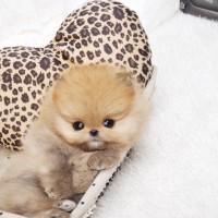 rozkošný domácí vyškoleni a zdravé Pomeranian štěňata k dispozici