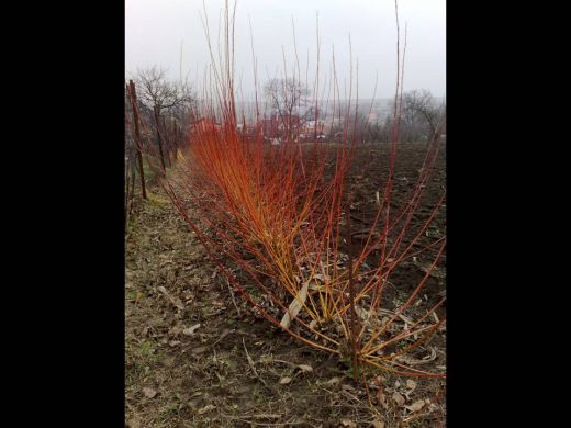 Košikárske prútie (Salix americana)