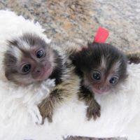 socializovaný prst dítě, opice kosmanů na prodej.,