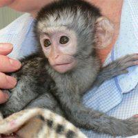 zdravé a socializované dětské kapucínské opice na prodej